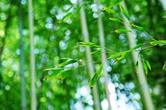 into the bamboo garden (*Cinnamon) Tags: bokeh saratoga bamboo hakonegarden