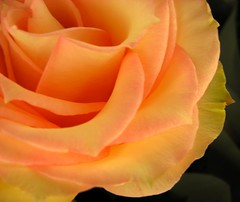 a rose for earth day, explore 4.24.08 (Time for a Change, Helen) Tags: orange flower macro rose yellow petals interestingness soft blossom explore bloom explored mywinners inandoutofexplore magicofaworldinmacro onlythebestare photofaceoffwinner flickrgt pfogold awesomeblossoms
