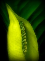 Sublime Lines & Curves (1bluecanoe) Tags: plants green nature yellow spring may wa bainbridgeisland soe skunkcabbage bloedelreserve 1bluecanoe
