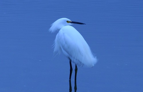 [フリー画像] 動物, 鳥類, コウノトリ目, ユキコサギ, ブルー, 200807100700