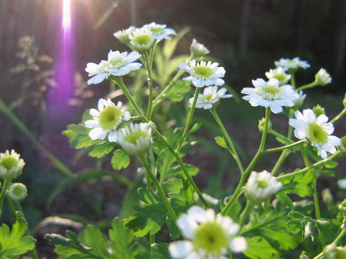 feverfew in early evening light