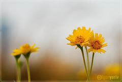 Upload # 400 - Upsy Daisy (El Camin0) Tags: flower 50mm flora nikon dof bokeh f14 abudhabi d80 saveearth igoryariv goldenvisions