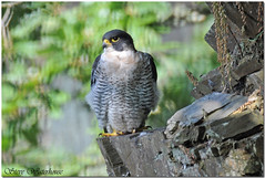 ADULT MALE PEREGRINE FALCON WITH A FULL CROP (1000 MM LENS HAND HELD) (spw6156) Tags: copyright male lens woods hand with adult steve full crop falcon mm held nationaltrust 1000 falcons raptors waterhouse peregrine plymbridge a wowiekazowie cannquarry spw6156 stevewaterhouse plymperegrineproject plymbridgeperegrinefalcons copyrightstevewaterhouse