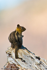 Golden-Mantled Ground Squirrel (Jim Arnold (jga154)) Tags: nature squirrels mammals goldenmantledgroundsquirrel lnp jga154