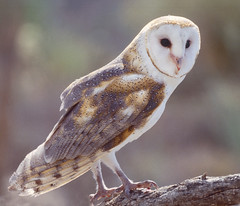 Barn Owl: Arizona-Sonora Desert Museum: Tucson, Arizona (AZ) (Floyd Muad'Dib) Tags: show arizona usa southwest bird birds animal animals museum sonora america geotagged us unitedstates desert tucson desertmuseum wildlife united north az southern raptor owl northamerica shows states sonoran raptors americanwest owls barnowl arizonasonoradesertmuseum tytoalba barnowls tucsonaz tucsonarizona southernarizona westernusa raptorshow raptorshows