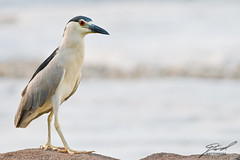 Strolling Black-Crowned Night-Heron