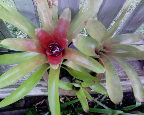 Common Bromeliad plant - photo courtesy flickr member Jofel Tobias
