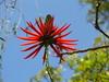 Suinã-Mulungu do litoral - Árvore candelabro - Candelar tree(Erythrina speciosa) Sao paulo Brazil parque Aclimação (mauroguanandi) Tags: red brazil erythrina fabaceae erythrinaspeciosa erithrina erithrinaspeciosa mimamorflores