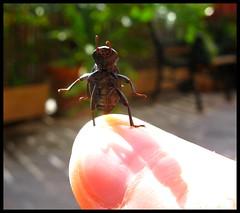 Would you like to dance with me?? :P (Les fleurs du mal) Tags: chile macro bug funny dancing beetle escarabajo bicho bailando viadelmar insecto platinumheartaward flickrestrellas