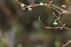 Nachusa forb (flowering plant)