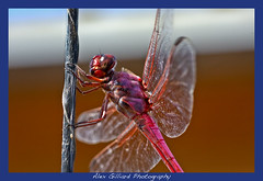 Fire Breathing Dragon!!! (Alex Gilliard) Tags: pink macro canon bug insect wings dof dragon purple dragonfly sharp f8 10028