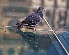 clich (mouzhik) Tags: paris canon pigeon dove glise parijs pars colombe zemzem clich   muzhik pary mujik parys    pariisi patricksskind    parizo moujik dietaube eos40d  mouzhik  ef50mmf10ums   pars prizs