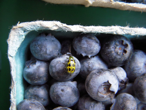 Blueberry Bug