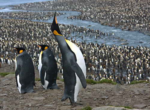 Sky pointing King Penguin at St. Andrews Bay Rookery by phil w.