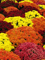 Fall Flowers (Cher12861) Tags: street flowers autumn red orange color fall yellow mums explore 2008 31st topshots colorphotoaward closetowork natureselegantshots explorewinnersoftheworld 100commentgroup panoramafotogrfico theoriginalgoldseal