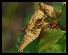 Ladybird and flower #2 (Tova_) Tags: flower macro nature screw fly leaf spiders poland polska holes ladybird spidre