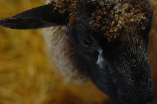 sheepy goodness, edited