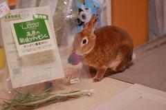 DSC_9383 (choimakko) Tags: rabbit bunny