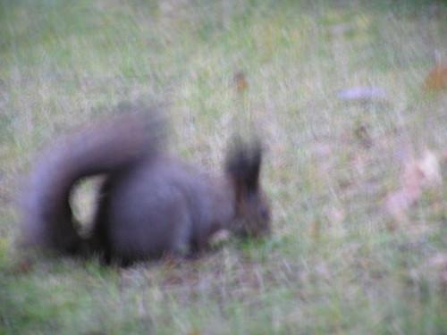 Sumea orava nuuhkii sumeaa nurmea
