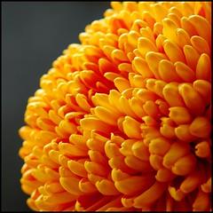 Dahlia (kubse) Tags: dahlia autumn orange flower macromarvels ahqmacro