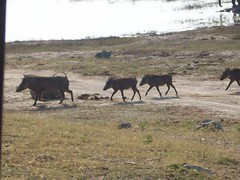 Pumbas (volleyballmojo) Tags: beauty african zambia pumba warthog