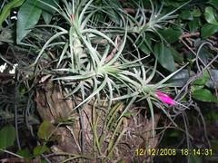 Bromelia da jabuticabeira Nilgazzola (nilgazzola) Tags: brasil de foto orchids sp ou com orquideas tirada maquina echapora longa haste gazzola caichos nilgazzola