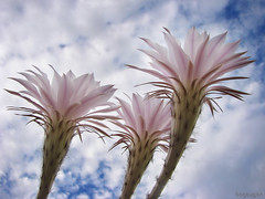 Tres flores de tuna (Bogaugon) Tags: pink cactus sky flower three ltytr1 platinumheartaward mimamorflowers