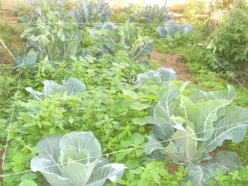 nettles cabbage cauliflower broccoli