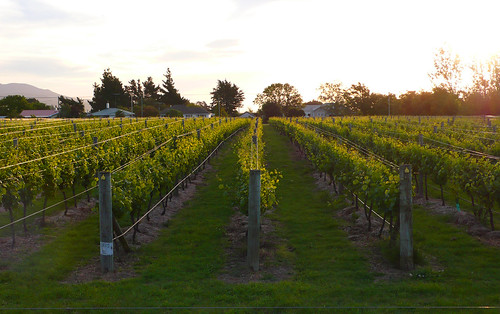 vines in martinborough