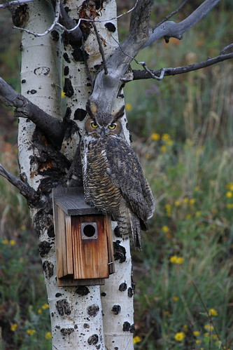 Great Horned Owl looking for lunch