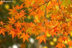 Japanese Maple Leaves (bluehazyjunem) Tags: winter leaves japanese maple shinjuku gyoen picnik mywinners platinumphoto kayede 5mikedec