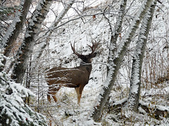 Watching the watcher (annkelliott) Tags: winter snow canada calgary nature animal forest mammal lumix seasons deer explore alberta wildanimal buck muledeer fishcreekpark interestingness94 annkelliott bebogrove fz18 panasonicdmcfz18 p1400718fz18 explore2008december21