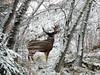 Watching the watcher (annkelliott) Tags: winter snow canada calgary nature animal forest mammal lumix seasons deer explore alberta wildanimal buck muledeer fishcreekpark interestingness94 annkelliott bebogrove fz18 panasonicdmcfz18 p1400718fz18 explore2008december21
