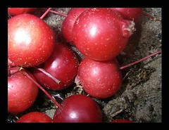 dolgo pommes cerisettes