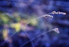 in the wind (ginnerobot) Tags: blue nature colors walking 50mm washington weeds pretty dof bokeh naturallight explore mondayblues sooc picturewalk naturey viewonblack itswarmfordecember