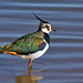The beautiful  Lapwing