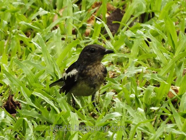 กางเขนบ้านยังไม่เต็มวัย Young Oriental Magpie Robin