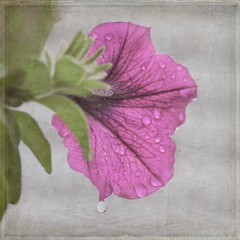 Grey Day...Drip, Drip, Drip... (Explored) (lclower19) Tags: pink flower water rain canon grey nikon kim drop drip textures filter klassen petunia 500d diopter d90 18135mm ourdailychallenge