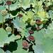 Le jardin des Pamplemousses, Lotus