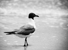 Seagull (StephanieReid) Tags: bw beach canon seagull lightroom 50d padreislandnationalseashore