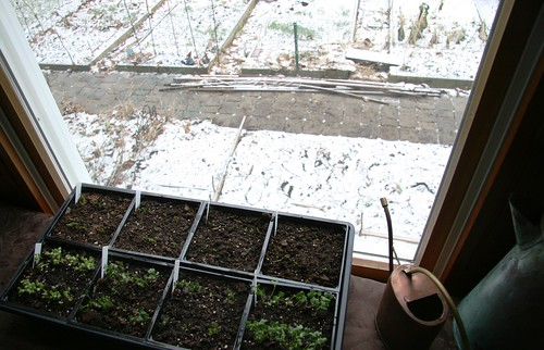 window seedlings