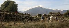 Arar con mula