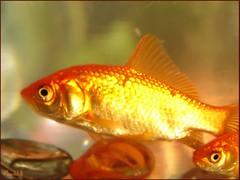 Life Within Life (Sepideh!) Tags: light sunlight fish history march persian spring goldfish culture newyear iranian tradition 2008 vernalequinox springequinox norooz norouz navroz nawruz nowruz noruz newroz nauruz nowrouz haftseen farvardin  2567 neyruz sepideh celeberation 1387 nooruz nawroz  novruz navruz 7ss nauryz northernamerica nauroz nawrz nevruz  navrez  narooz nowroj navroj haftsn abowlofwaterwithgoldfish  lifewithinlife