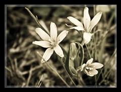 .: Old Memories :. (Roberta Facchini) Tags: old flower macro up sepia garden spring close memories frame roberta facchini ruobby wwwrobertafacchinicom