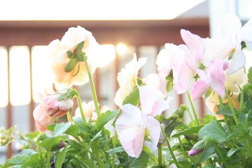 pansies on the deck