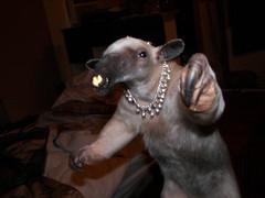 Anteater hip hop