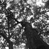 Quercus serrata. (F_blue) Tags: tokyo kodak tripod hasselblad nd koganeipark 500cm 小金井公園 plusx125 onawindyday planart c8028 fblue2008
