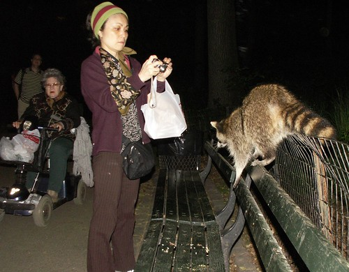 Raccoon spectacle
