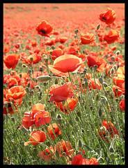 Sea of poppies close-up (Romeodesign) Tags: flowers red flower macro nature field warm hungary poppy tab supershot somogy redpopy colourartaward