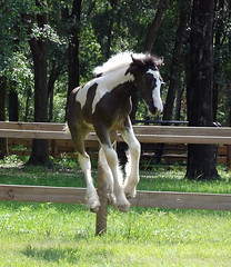 This girl can jump! (The Pelton Vanners Gypsy Vanner Horses) Tags: gypsyhorse gypsycob gyspyvanner